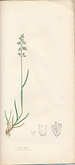 The Grasses of Great Britain, Illustrated By John Sowerby. Described, With Observations on Their Natural History and Uses. Part XIII